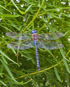 Free Having A Rest Old Dragonfly Royalty Free Stock Photography - 10250517