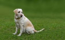 Free Golden Labrador Royalty Free Stock Photography - 10250857