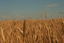 Free Wheat Ear Royalty Free Stock Photo - 10252905