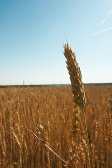 Free Wheat Ear Stock Image - 10252911