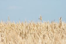 Free Wheat Field Royalty Free Stock Image - 10252946