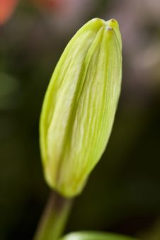 Free Young Tulip Bud Royalty Free Stock Image - 10255316