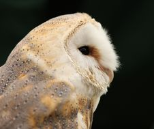 Free Barn Owl Stock Photo - 10255360