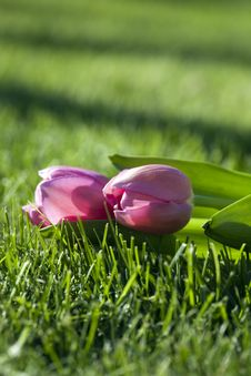 Free Tulip In Grass Stock Photos - 10255373