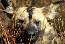 Free Wild Dog Stock Photography - 10255692