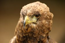 Bateleur Eagle Stock Image