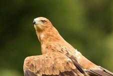 Free Tawny Eagle Stock Photography - 10256132