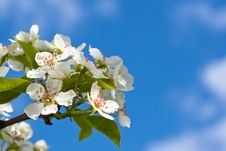 Free White Flowers Of Apple Tree Royalty Free Stock Photos - 10256798