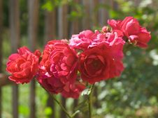 Free Rose Flowers Royalty Free Stock Images - 10258459