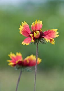 Free Yellow Red Flower Royalty Free Stock Image - 10258476