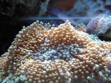 Free Ricordea Soft Coral Royalty Free Stock Photography - 10259147