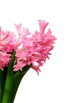 Free Isolated Pink Hyacinth Royalty Free Stock Photo - 10259765