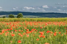 Free Wild Poppy Field Royalty Free Stock Photography - 10259967
