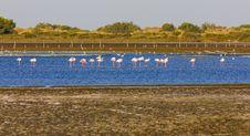Free Flamingos In Camargue Stock Photo - 10259970