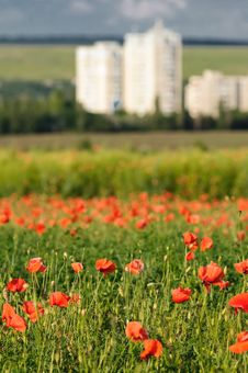 Free Wild Poppy Field Royalty Free Stock Photo - 10259975