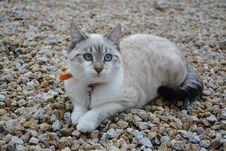 Free Cat, Small To Medium Sized Cats, Cat Like Mammal, Fauna Royalty Free Stock Photo - 102568405