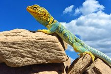 Free Reptile, Scaled Reptile, Lizard, Fauna Royalty Free Stock Photography - 102568417