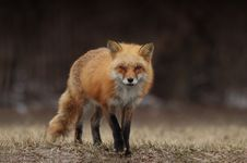 Free Fox, Red Fox, Wildlife, Mammal Stock Photography - 102569082