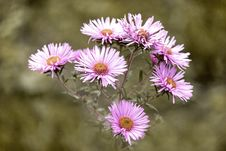 Free Flower, Plant, Flora, Aster Stock Photos - 102569083
