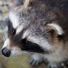 Free Fauna, Mammal, Raccoon, Wildlife Stock Image - 102569661