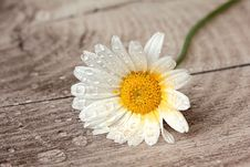 Free Flower, Oxeye Daisy, Flora, Daisy Royalty Free Stock Photo - 102570035