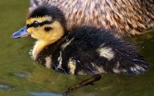 Free Bird, Duck, Ducks Geese And Swans, Water Bird Stock Photo - 102570080