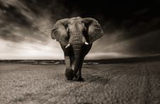 Free Elephants And Mammoths, Elephant, Black And White, Mammal Royalty Free Stock Images - 102570149