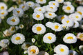 Free Daisy Royalty Free Stock Images - 10264269