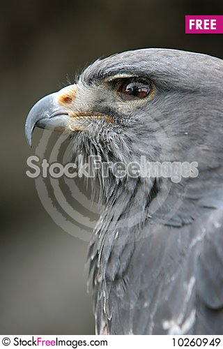Free Eagle Portrait Close Up Royalty Free Stock Images - 10260949