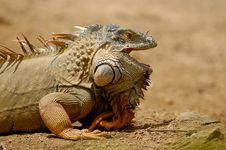 Free Iguana Stock Image - 10261001