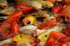 Free Mass Of Carp Fish Royalty Free Stock Image - 10261026