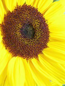 Free Sunflower Stock Photo - 10262580