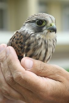 Free Nestling Of Falcon Kestrel On A Hand Royalty Free Stock Photos - 10263098