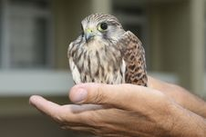 Free Nestling Of Falcon Kestrel On A Hand Royalty Free Stock Photography - 10263117