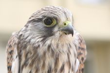 Free Nestling Of Falcon Is A Kestrel Royalty Free Stock Photos - 10263148