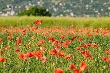 Free Wild Poppy Field Stock Photography - 10263782