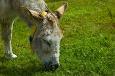 Free White Rescue Donkey Stock Photo - 10264420