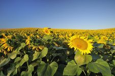 Free Sunflower Field Royalty Free Stock Image - 10264826
