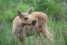 Free Baby Elk Stock Photos - 10265583