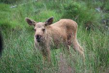 Free Elk Baby Royalty Free Stock Photos - 10265738