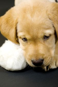 Labrador Retriever Puppy Stock Images