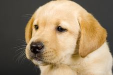Free Closeup Of A Puppy Labrador Royalty Free Stock Images - 10266609