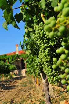 Free Vineyard Vertical Stock Photography - 10266642