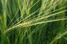 Green Rye. Royalty Free Stock Images