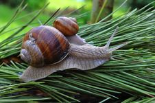 Free Snail Royalty Free Stock Photos - 10267778
