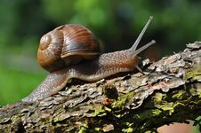 Free Snail Royalty Free Stock Images - 10267839