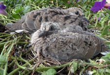Free Baby Doves Giving Stinkeye Stock Image - 10268321