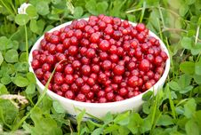 Berries Of Currant Stock Images