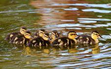 Free Duck, Bird, Mallard, Ducks Geese And Swans Stock Photography - 102632082