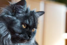 Free Cat, Whiskers, Small To Medium Sized Cats, Cat Like Mammal Royalty Free Stock Images - 102634419